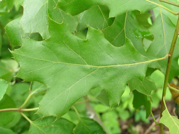 black-oak-leaves-bloomington indiana