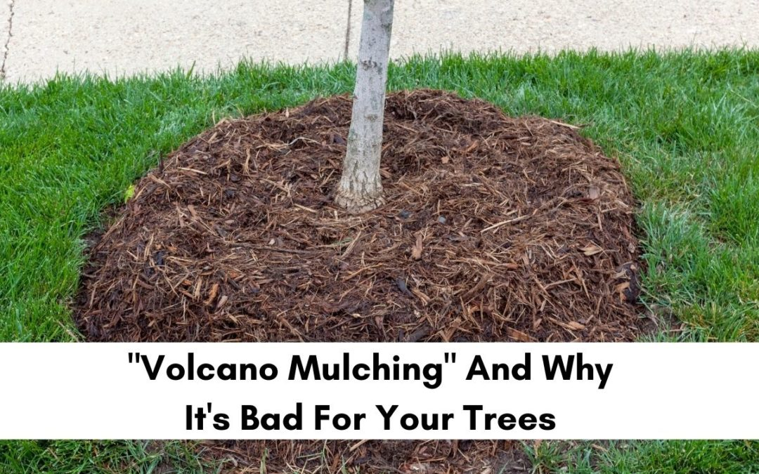 What is the right way to mulch around a tree?