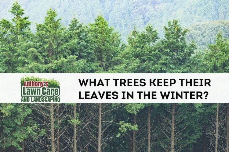 What kinds of trees retain their leaves in winter?